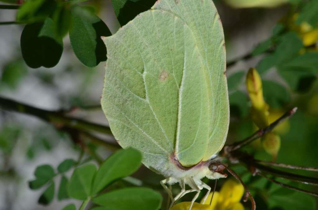 Le Citron (Gonepteryx rhamni). Photos : Roland Gissinger (ANAB)