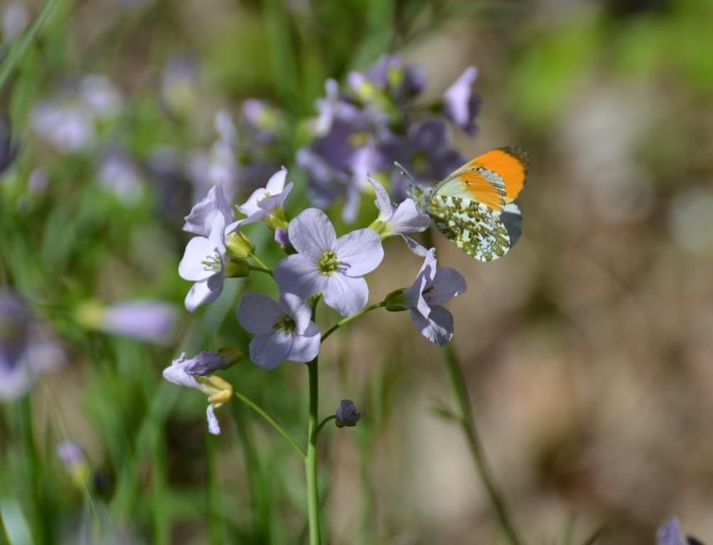 L'Aurore (Anthocharis cardamines). Photo : Jean-Louis Schmitt (ANAB)