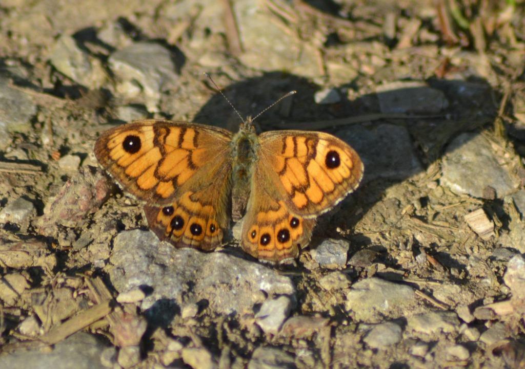 La Mégère et le Satyre  (Lasiommata megera) ♀. Photo : Jean-Louis Schmitt (ANAB)