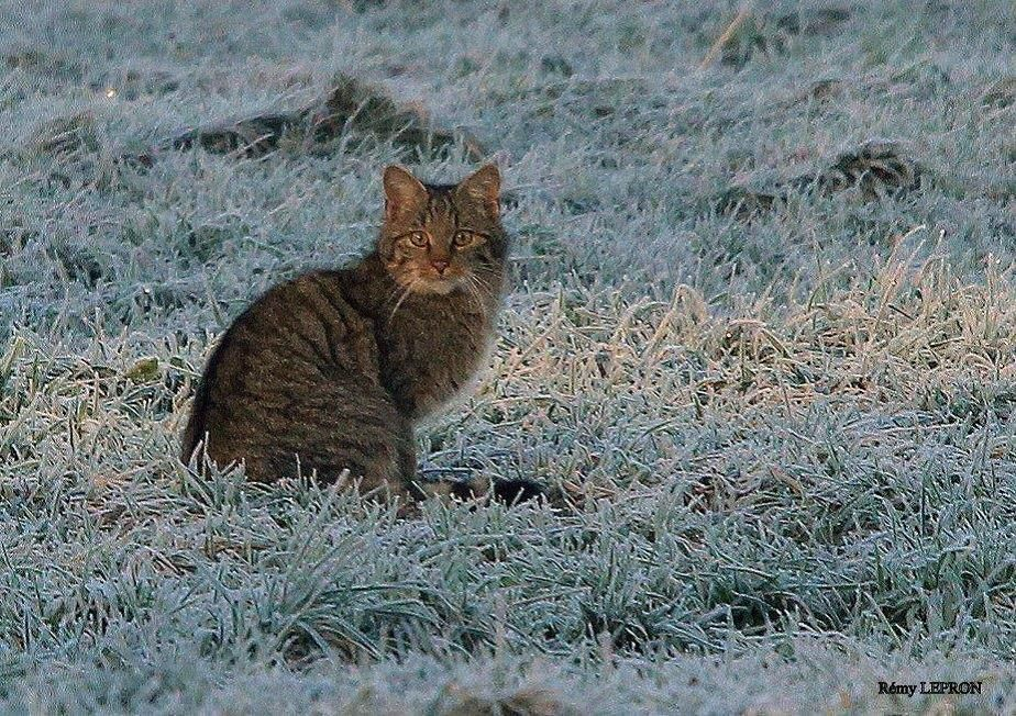 Chat forestier (Felis silvestris silvestris). Photo : Rémy Lepron