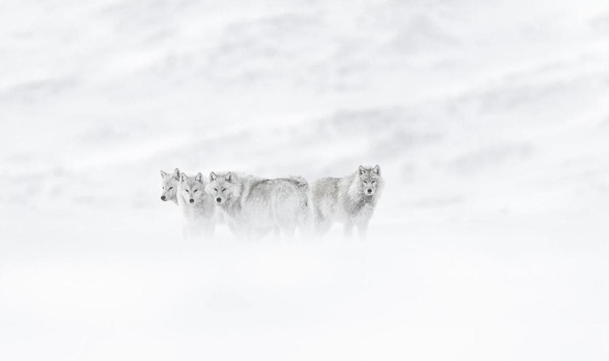 Tant que le loup n y est pas