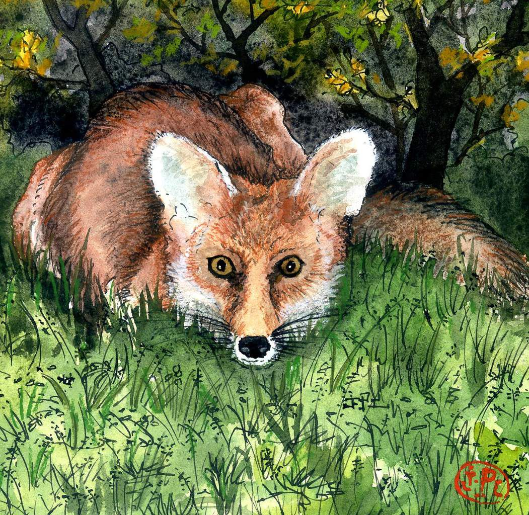 """Jules"", le renard. Illustration : J-P L."