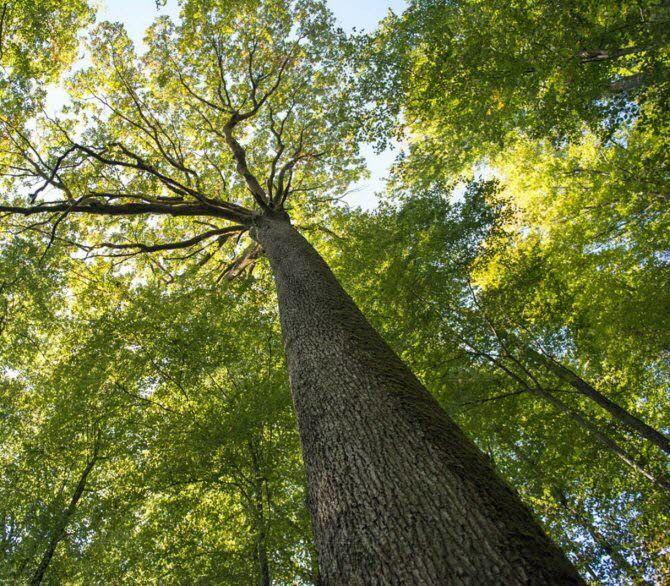 Des démarches sont entreprises pour protéger les arbres remarquables. DR