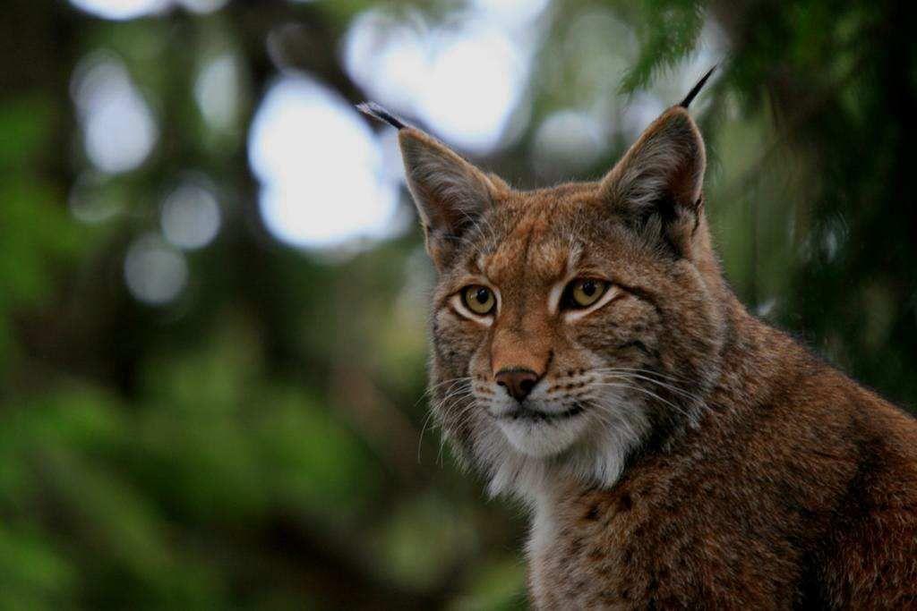 Les premiers lynx bientôt lâchés dans le Palatinat