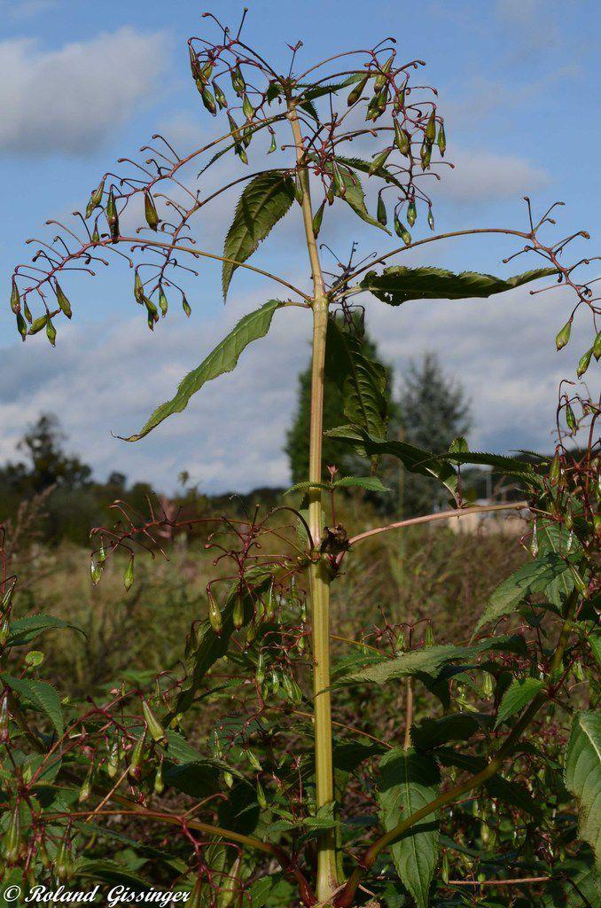 peste végétale - La Balsamine de l'Himalaya / L'Impatiente glanduleuse - Impatiens glandulifera