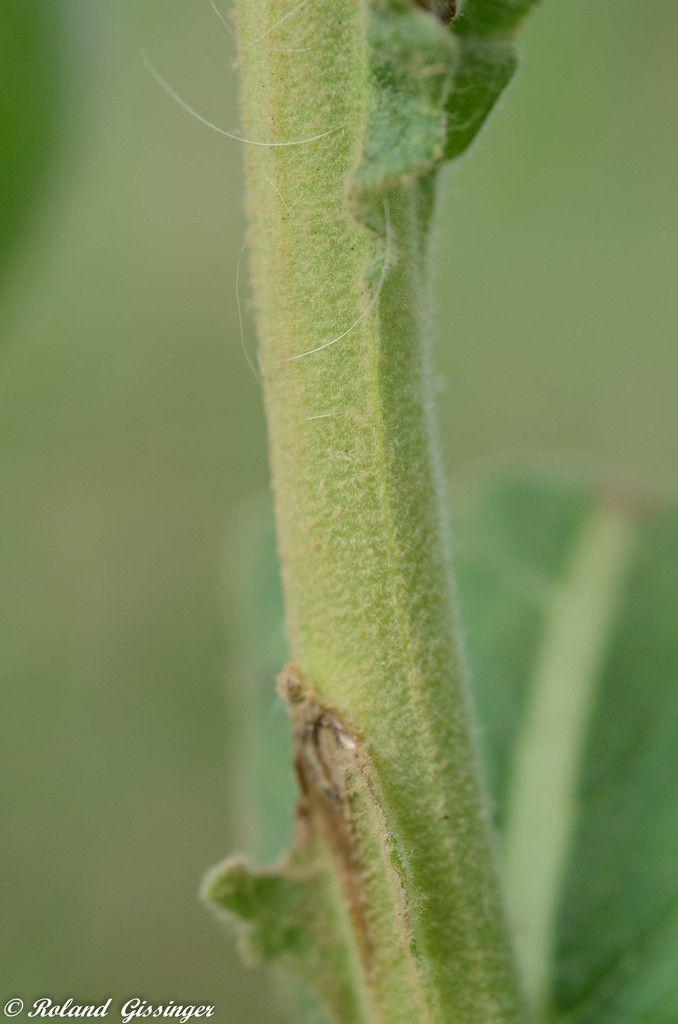 tige Molène Bouillon blanc  / Verbascum thapsus L.