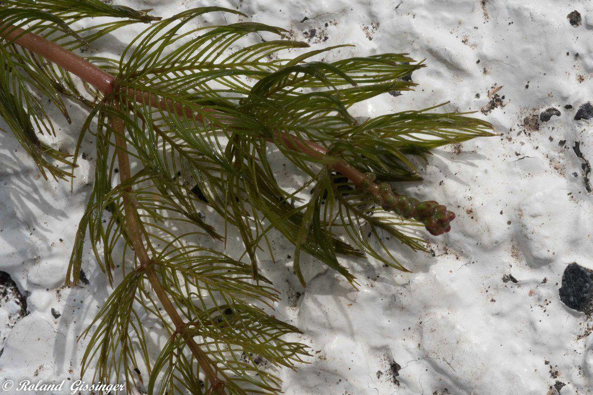 Feuilles Myriophylle à épis, Myriophylle en épi,   : Myriophyllum spicatum