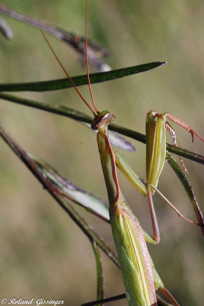 La Mante religieuse  ( Mantis religiosa ) Photos : Roland Gissinger (ANAB)