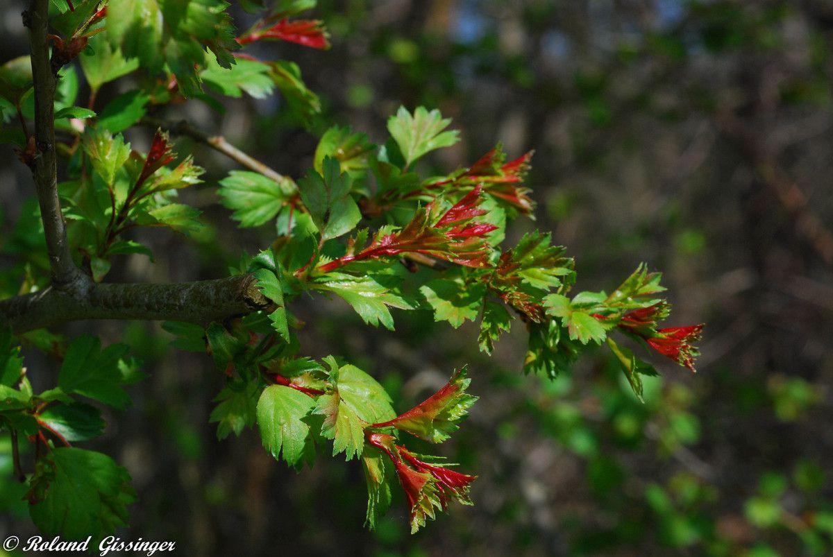 L'Aubépine ou Epine blanche ou Bois de mai ou Valériane du coeur  (Crataegus monogyna)
