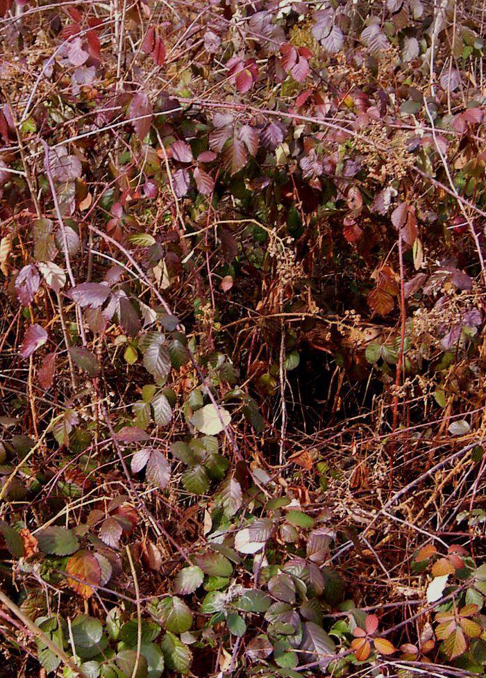 Ronces (Rubus sp) en lisière. Les rameaux supérieurs ont une coloration rouge affirmée tandis que ceux du bas sont plus verts et tassés. Ont-ils été recouverts d'un paquet de neige ? Les pieds situés sous couvert forestier ont conservé leur coloration verte.