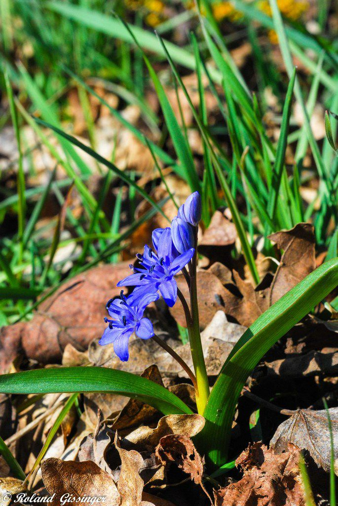 Scille à deux feuilles, Étoile bleue  (Scilla bifolia). Photo : Roland Gissinger (ANAB)