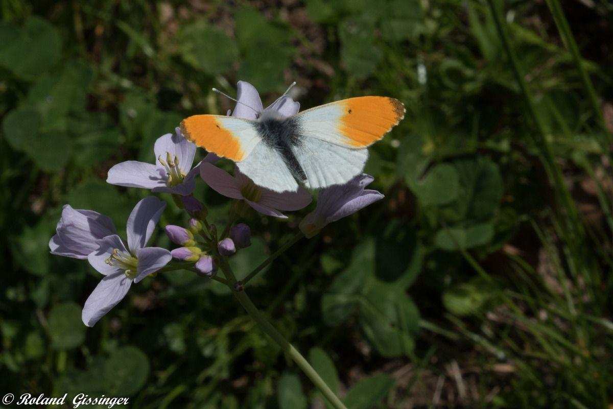 Aurore mâles (Anthocharis cardamines)