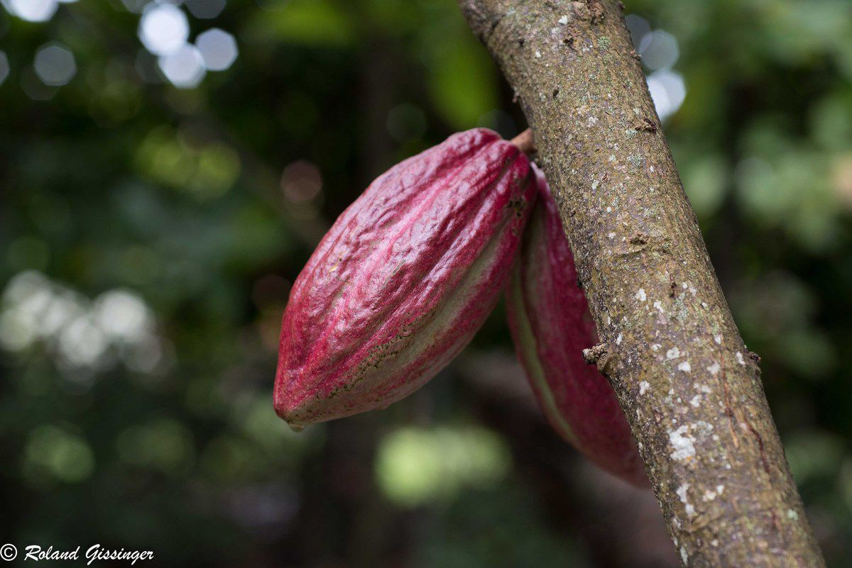 le cacaoyer - anab association nature alsace bossue