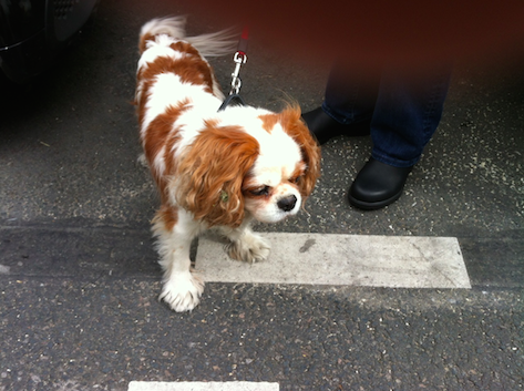 The Cavalier King Charles we met today