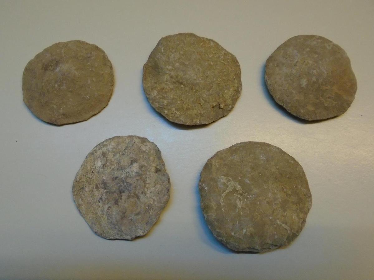Nummulites géantes de l'Eocène d'Arménie