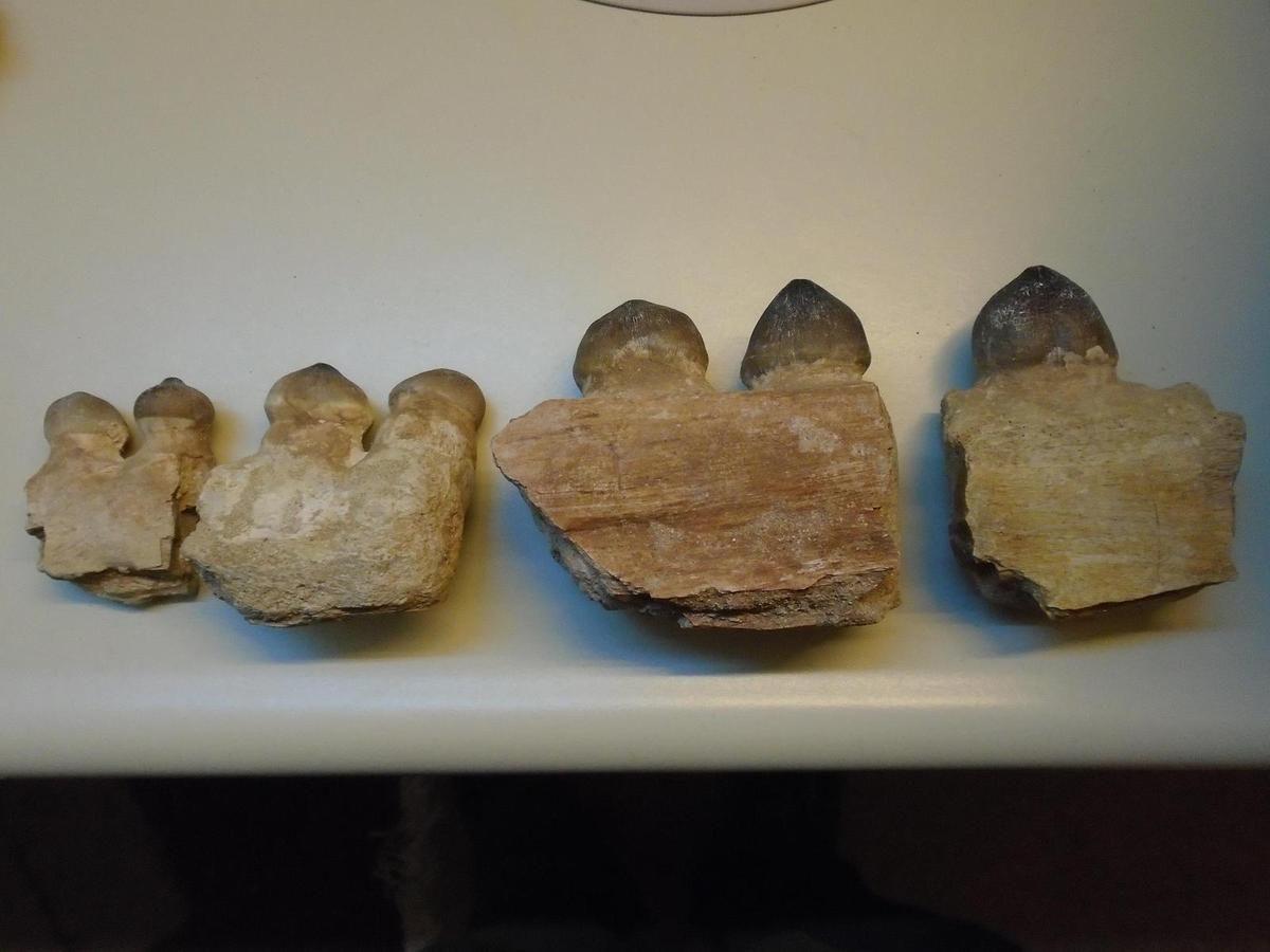 Morceaux de mandibules de Globidens phosphaticus, Maastrichtien, Maroc