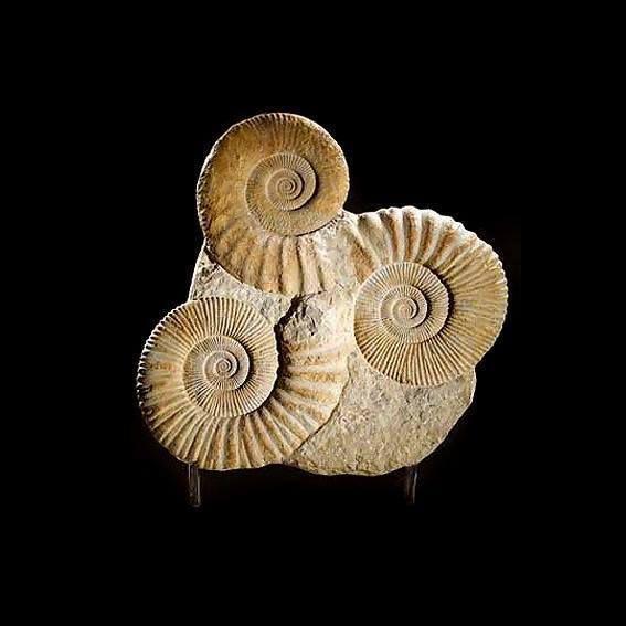Beau groupe d'ammonites, mais en partie faux