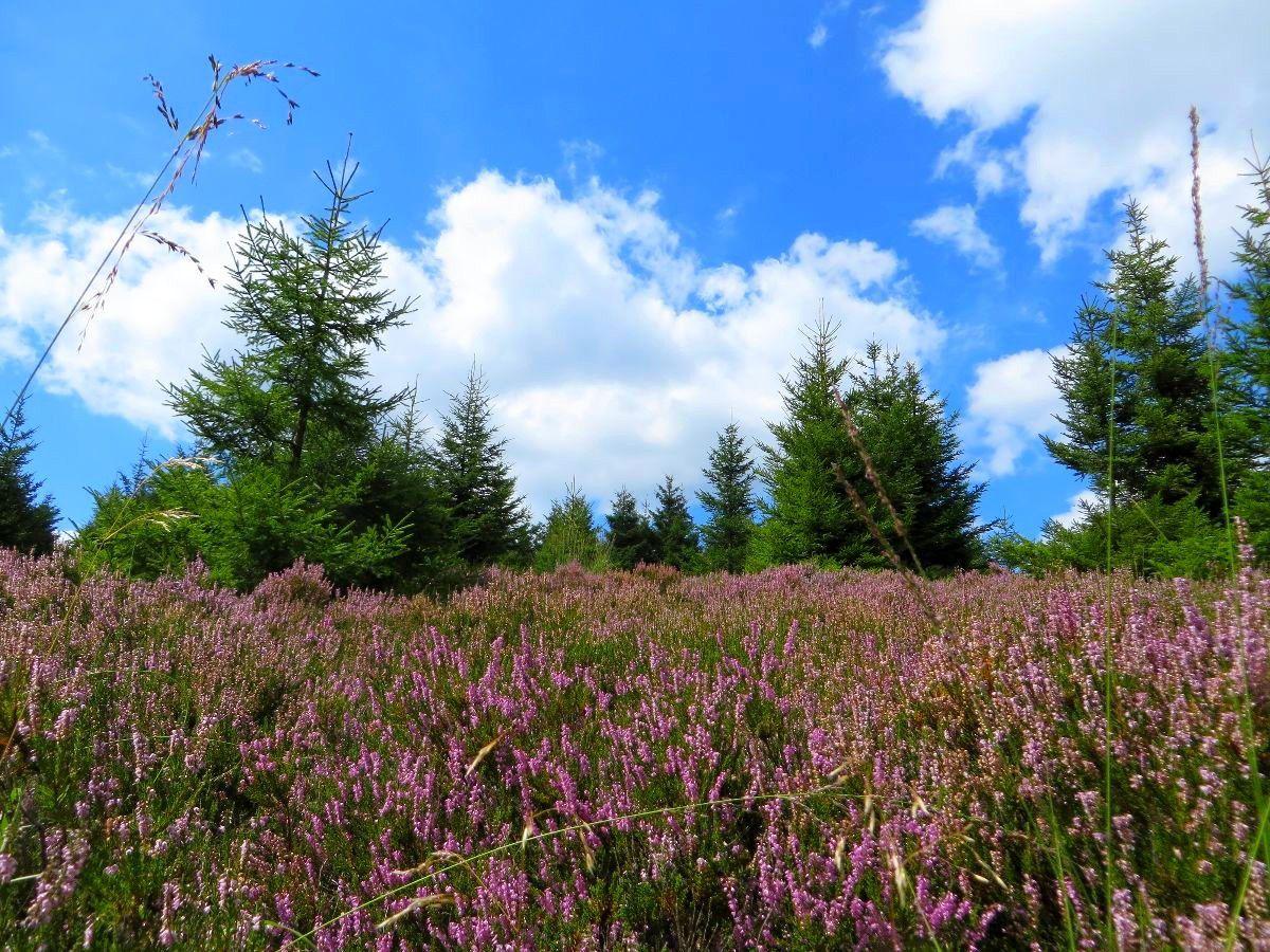 Les Hautes Chaumes également très fleuries