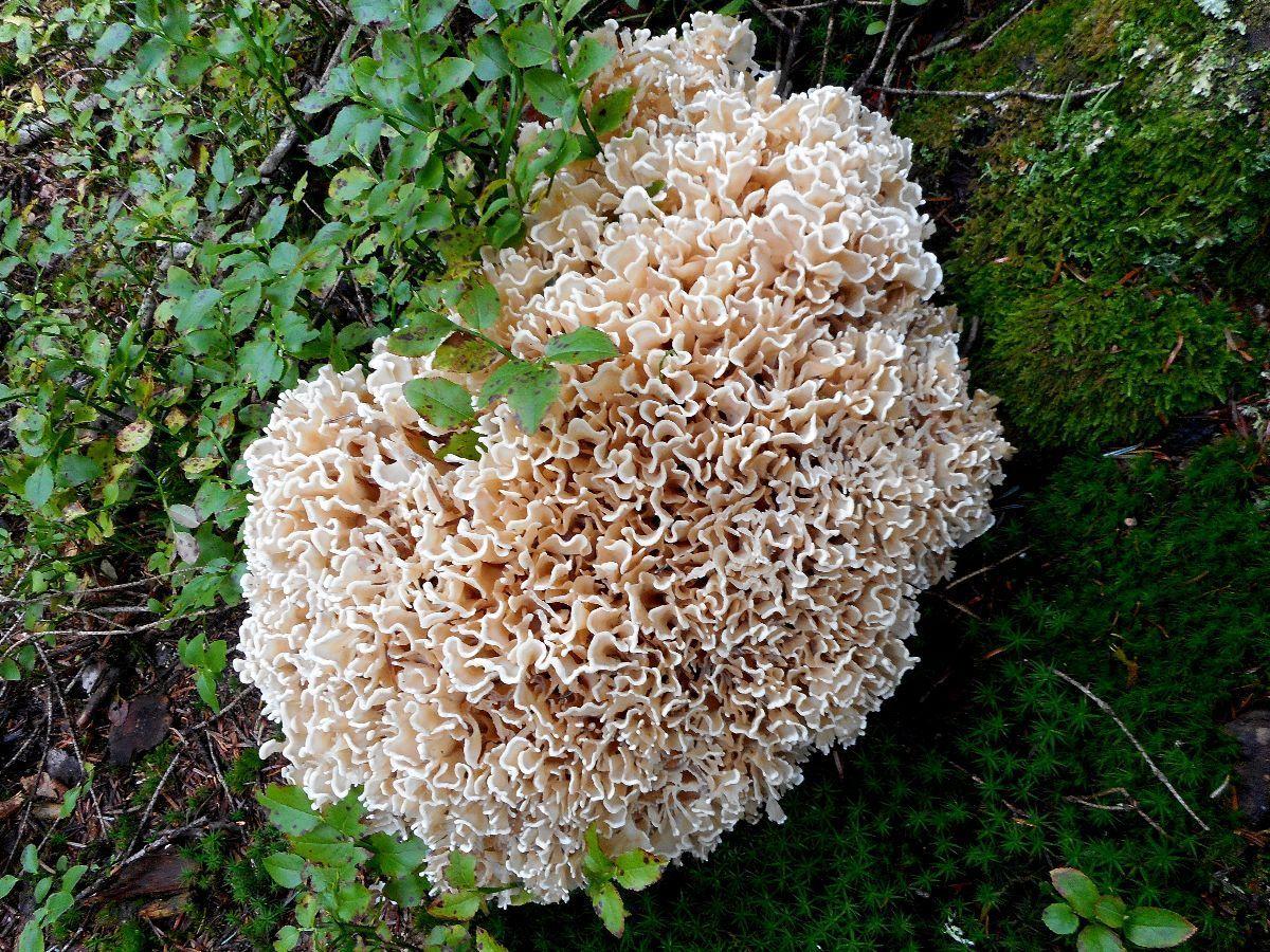 Un beau spécimen de champignon, peut être une clavaire crépue