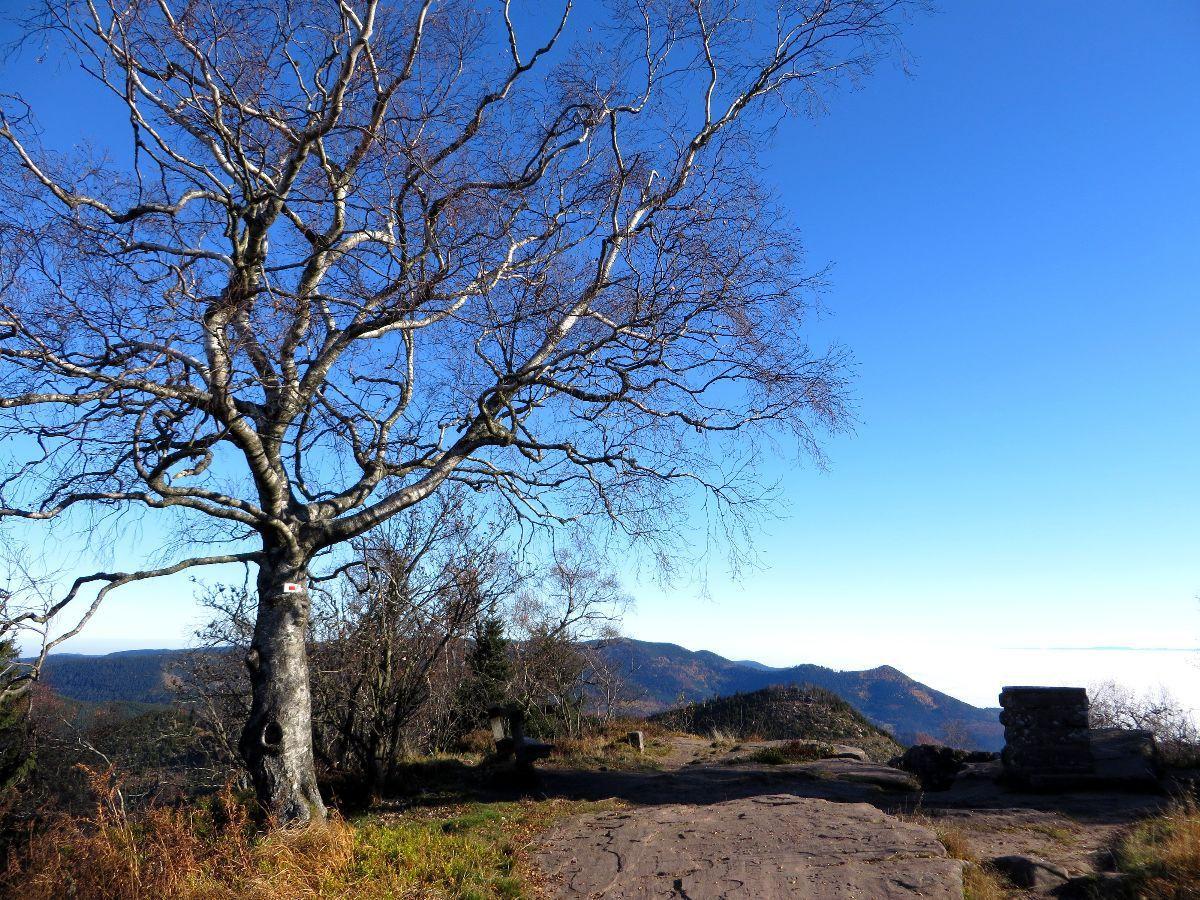 Un arbre exceptionnel au sommet du Donon.