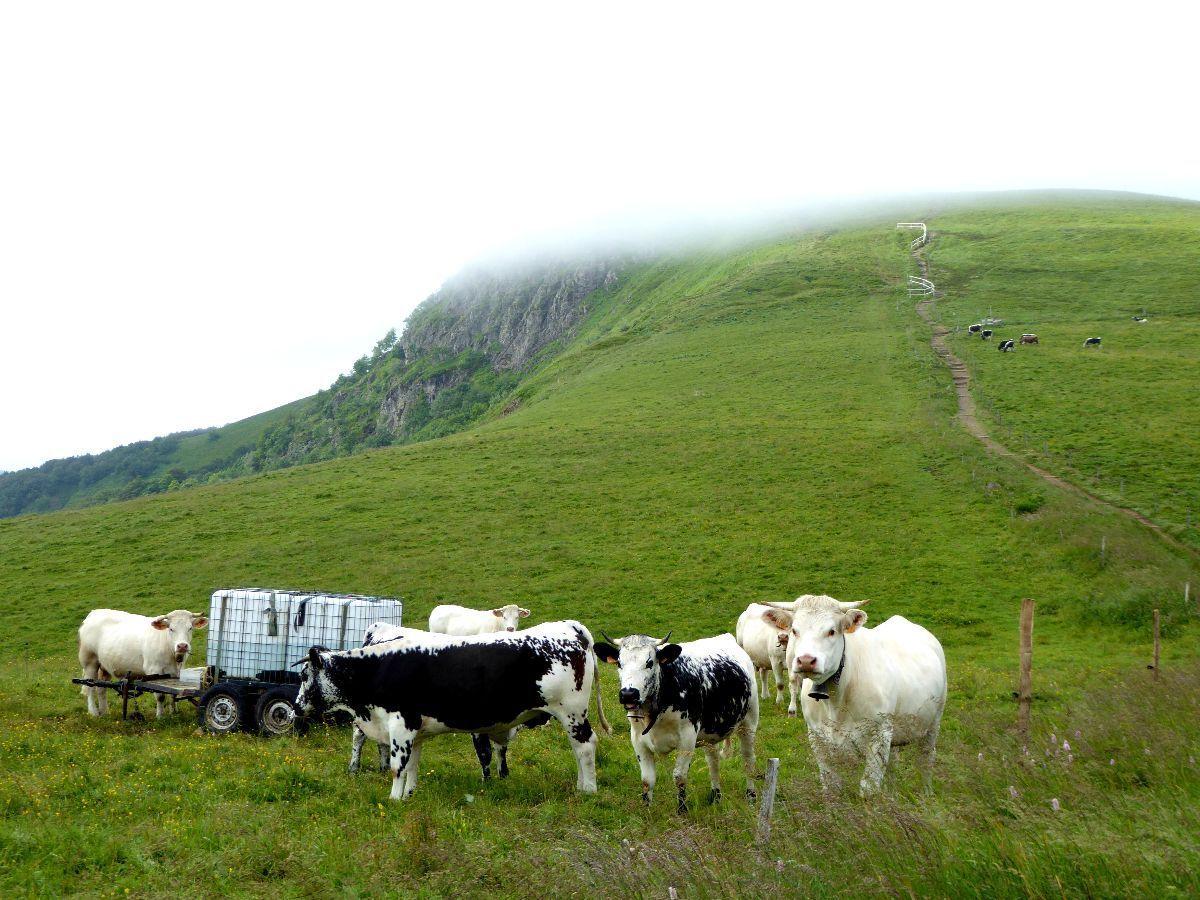 Vaches Vosgiennes au pied du Rothenbachkopf