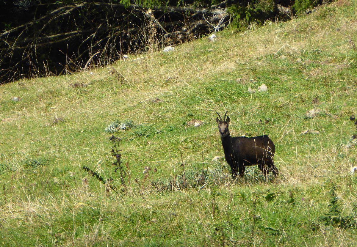Un chamois Suisse