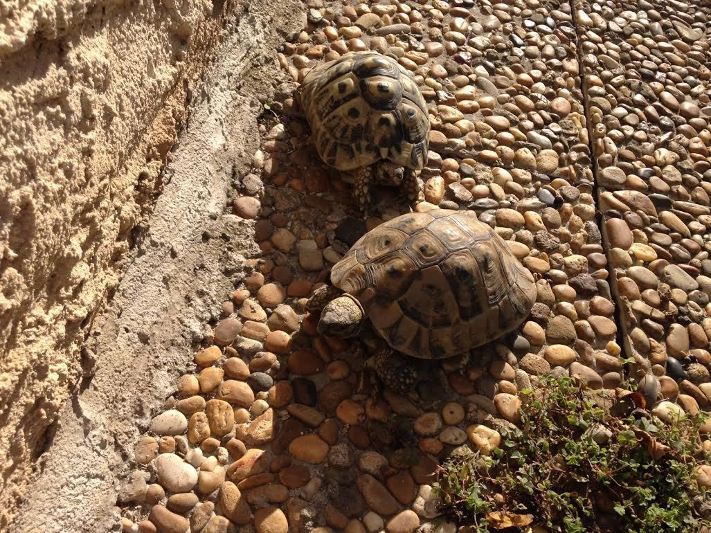 The little balade of turtles ........( article en anglais !)