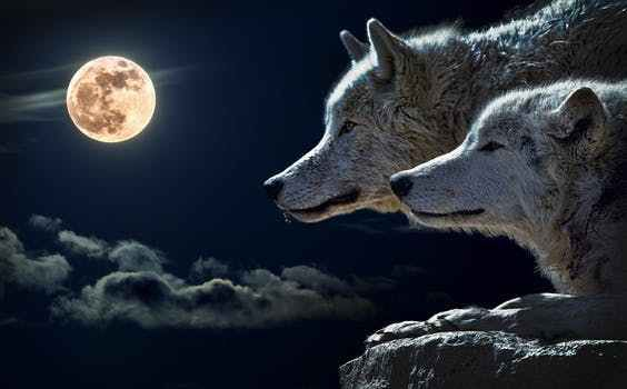Le retour des loups sur la Banquise  ?