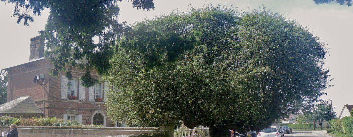 Bouquetôt, Eure, l'If planté en 1360 devant l'église, arbre remarquable, Cl. Elisabeth Poulain