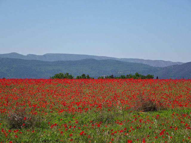 Coquelicots de Provence au mois de mai-Cl.2. F. Poulain