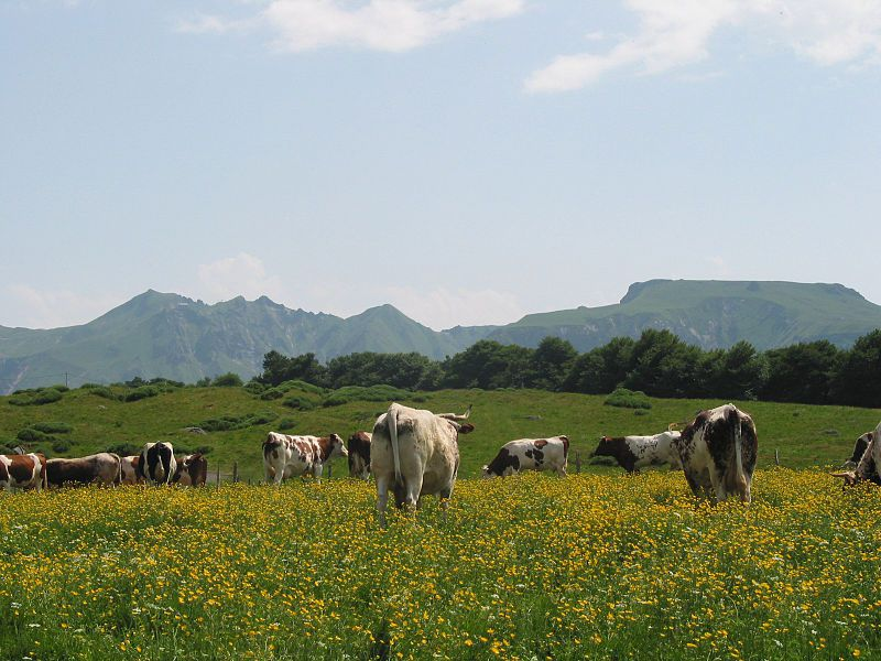 Sancy, Puy de Sancy, Vaches Ferrandaises, Jean-Pol Grandmont 2005, wikipedia