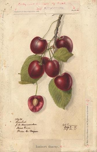 Cherries Variety Lambert, Watercolors 1894, 38450lg.www.nat.usa.gov.wikipedia