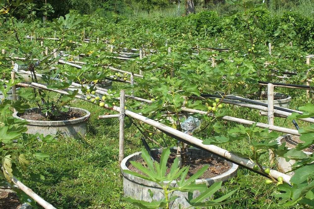 Udonthani: Visite d'un producteur de melons