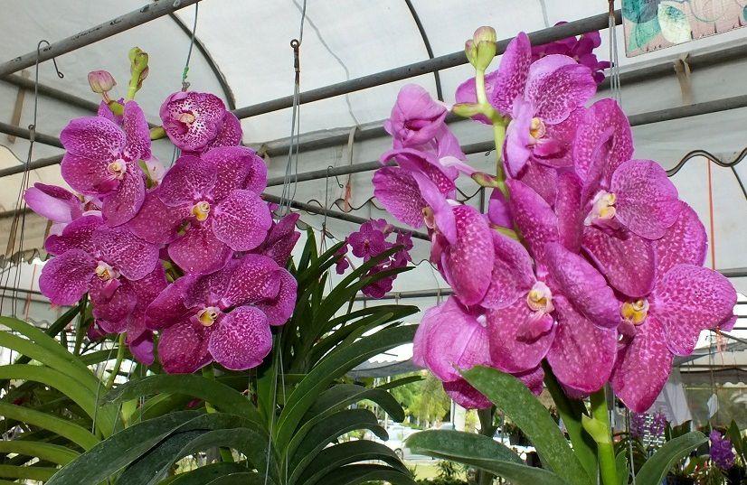 20 août 2016. Université d'Udonthani: Exposition d'orchidées