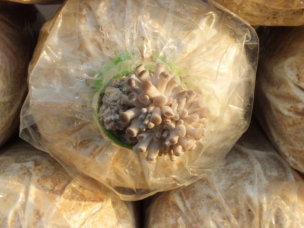 Udonthani: La culture de Champignons