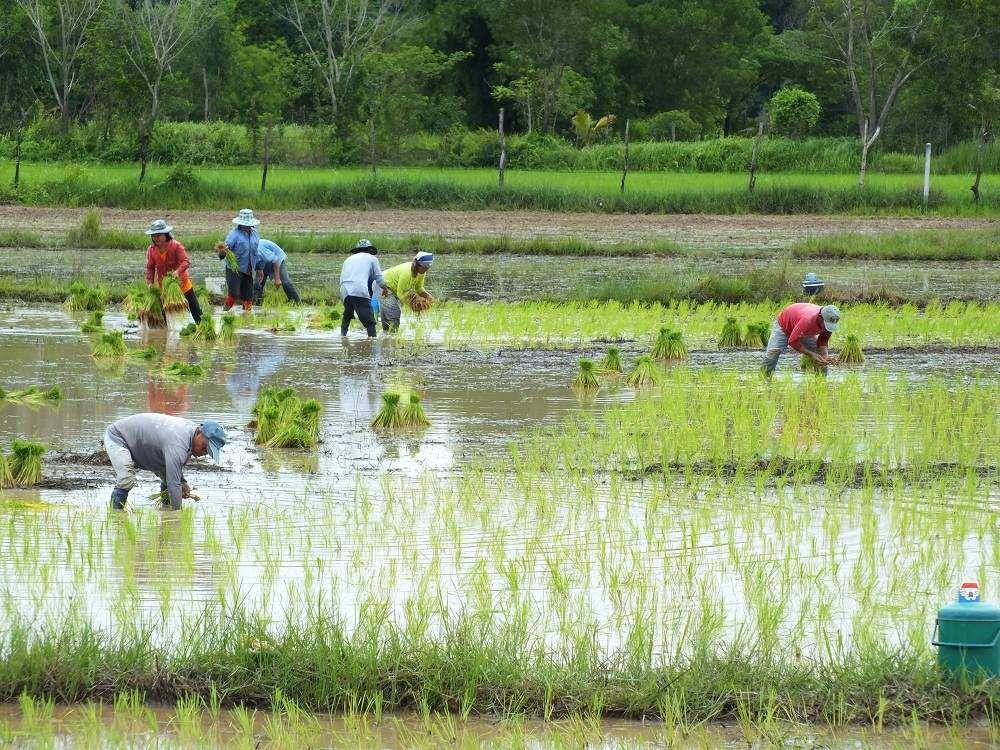 18 juin 2017: Udonthani, la plantation du riz.