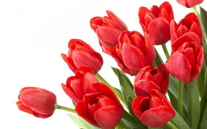 http://www.my-hd-wallpapers.fr/free-wallpapers/1406802760_red-tulip-flower-clump.html