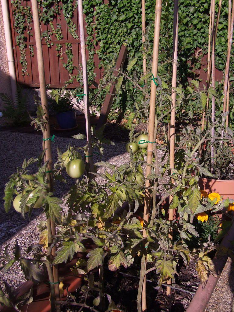 La saga de mes tomates fin juillet 2015.