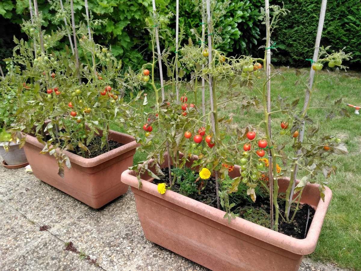 La saga de mes tomates - 15 juin au 14 juillet 2017