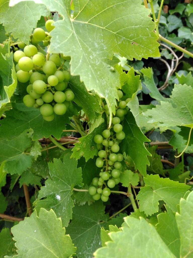 Du raisin pour septembre.