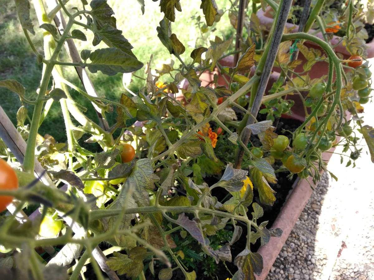 La saga de mes tomates 2017. Première récolte.