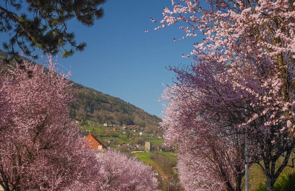 Les prunus de la plus belle avenue d'Allevard