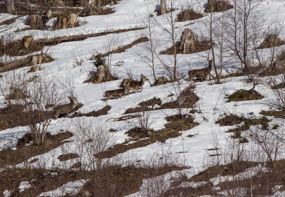 Des biches traversent une coupe de bois encore enneigée.
