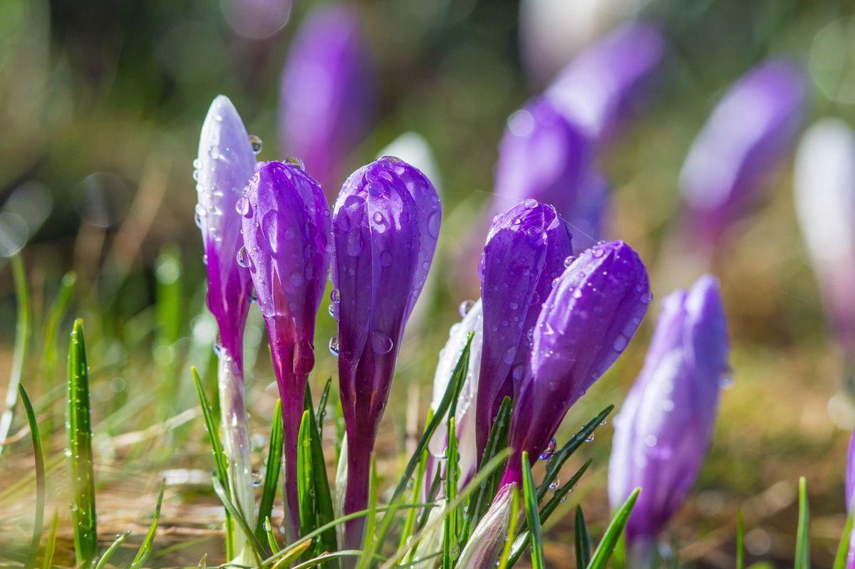 Gros plan sur les violets