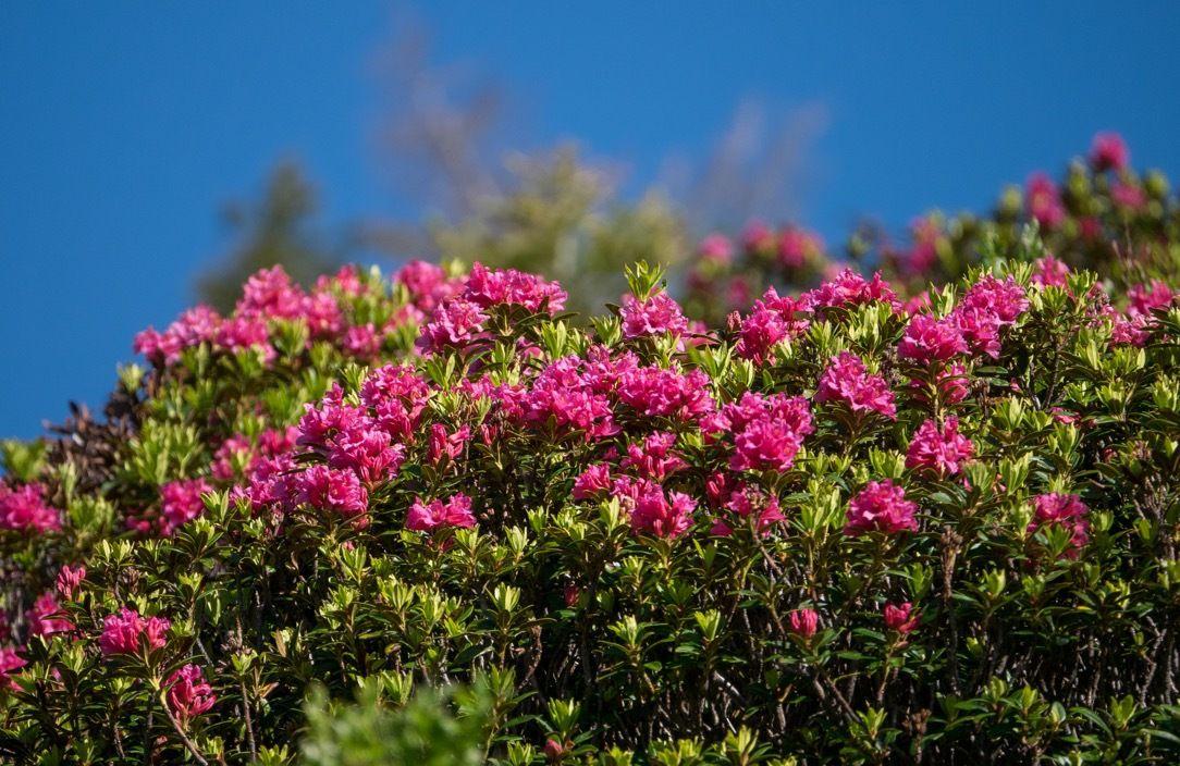 Rhodos en fleurs (détail)