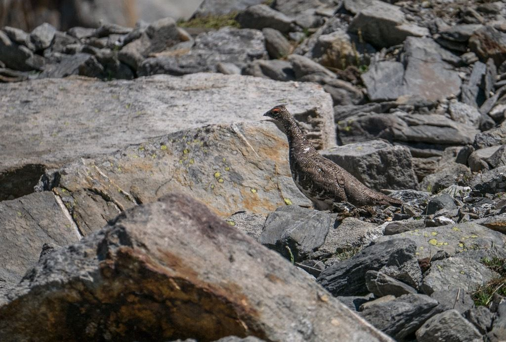 Lagopède femelle. Dépannage avec le 45-150 Lumix. Pas mal du tout
