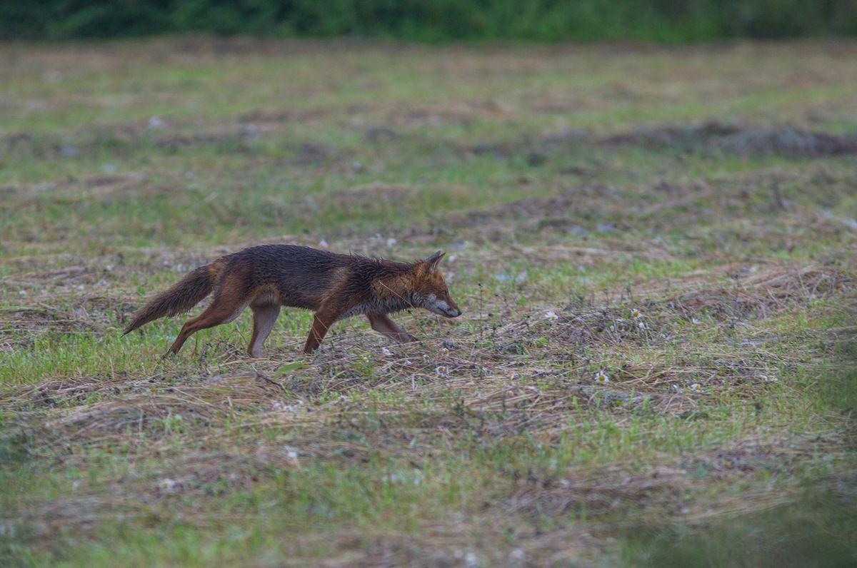 Attitude typique de renard en maraude