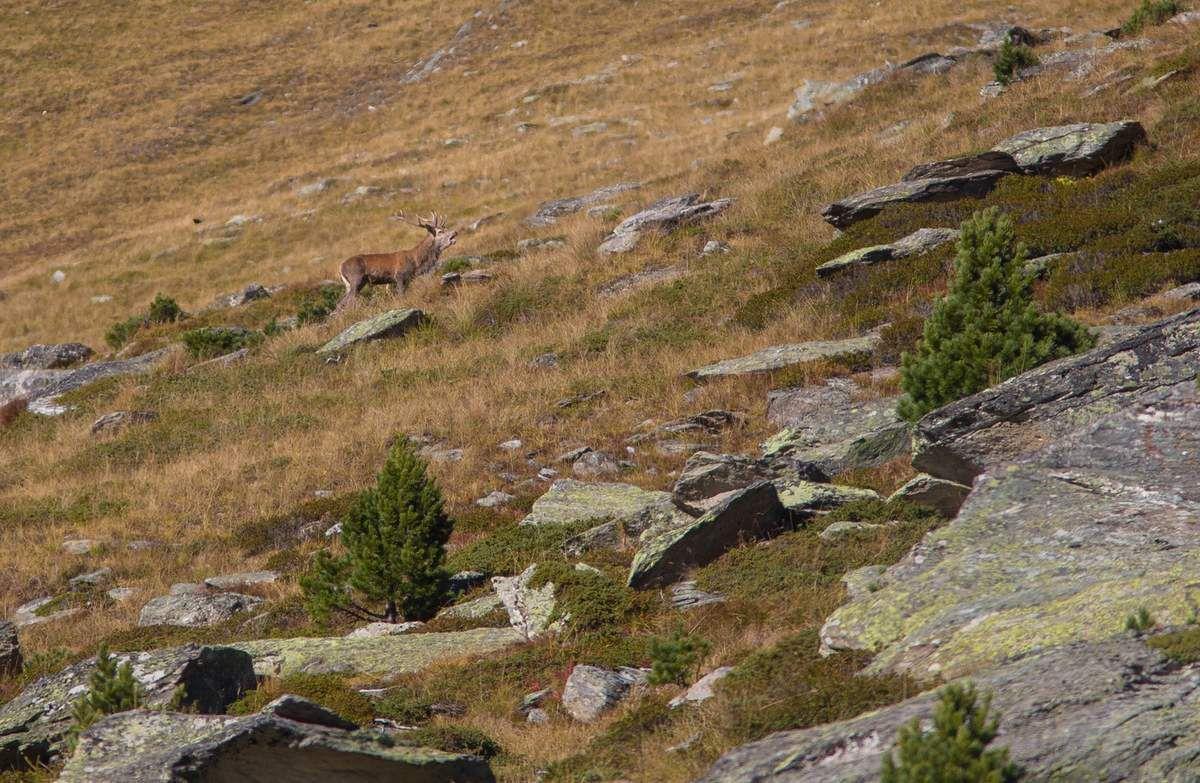 Un beau cerf qui tourne depuis un moment dans l'alpage