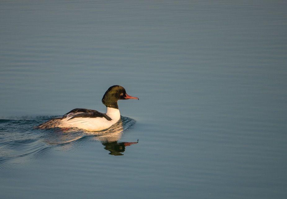 Les oiseaux du matin : vol de grands cormorans, harles bièvres (mâle seul puis femelle et ses jeunes), foulque et couple de nettes rousses