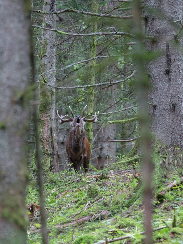 Un imposant dix cors qui réveille toute la forêt